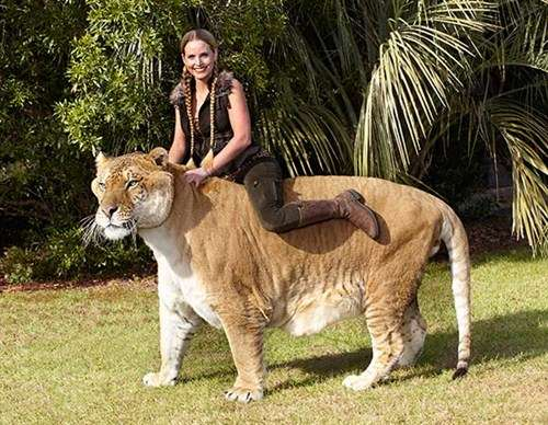 10 largest cats in the world youtube - Biggest Cat In The World Guinness 2016
