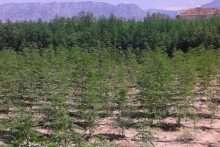 Plantacioni-me-kanabis-neafersi-te-Rinasit
