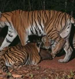 tiger-indokinez